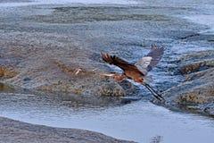 En Grey Heron Flying Fotografering för Bildbyråer