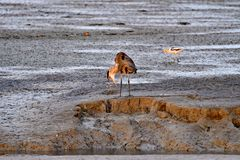 En Grey Heron Puking Excess Food Royaltyfri Fotografi