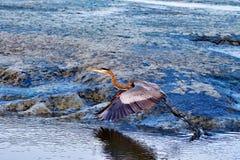 En Grey Heron Taking Off Arkivbilder