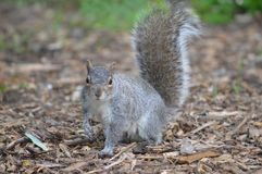 En Grey Squirrel i skogsmark royaltyfria bilder