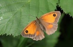 En grindvaktarefjäril, den Pyronia tithonusen sätta sig på ett blad med dess vingspridning Arkivfoton