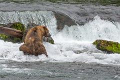 En grisslybjörn fångar laxarna på grunden av en vattenfall - bäcknedgångar - Alaska Royaltyfria Foton