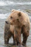 En grisslybjörn som fångar laxen - bäck faller - Katmai nationalpark - Alaska Royaltyfri Foto