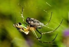 En grön trädgårds- spindel Royaltyfri Bild