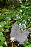 En groda i trädgården royaltyfri foto