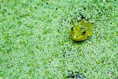 En groda som sitter i Duckweed. Royaltyfri Bild