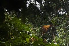 En grodaapa i ett träd Arkivfoton