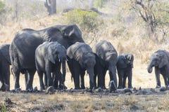 En grupp av afrikanska elefanter arkivfoto