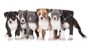 En grupp av amerikanska staffordshire terriervalpar Royaltyfria Bilder