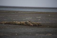 En grupp av att vara slö valross i arktisk Royaltyfri Fotografi