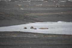 En grupp av att vara slö valross i arktisk Arkivfoto