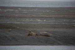 En grupp av att vara slö valross i arktisk Royaltyfri Foto
