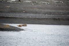 En grupp av att vara slö valross i arktisk Royaltyfri Bild