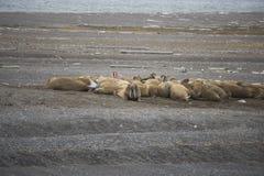 En grupp av att vara slö valross i arktisk Arkivfoton