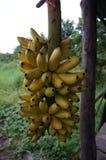 En grupp av bananen för dam Finger Royaltyfri Foto