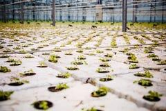 En grupp av behandla som ett barn växter som växer inom av krukor inom av en greenh arkivbilder