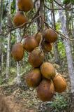 En grupp av betelen - muttern och betelen - mutterpalmträd Royaltyfria Bilder