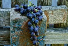 En grupp av blåa mogna druvor på en konkret kolonn av ett trästaket fotografering för bildbyråer