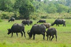 En grupp av buffelgruppen lämnar Arkivfoto