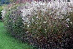 En grupp av dekorativt gräs Royaltyfri Foto