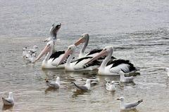 En grupp av den australiska pelikan, Australien Arkivfoton