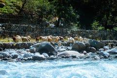 En grupp av den Himalayan stor-horned fårgeten på lakesiden av den BEAS floden Sikt av den inhemska flocken av djuret från åkerbr royaltyfri bild