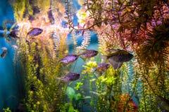 En grupp av den lilla akvariefisken i ett stort akvarium Arkivfoto