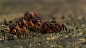 En grupp av den lilla krabban går i svart havsand royaltyfri bild