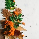 En grupp av den mogna orange bergaskaen med gröna sidor torra leaves för höst Svarta bär Vit sten eller murbruk Fotografering för Bildbyråer