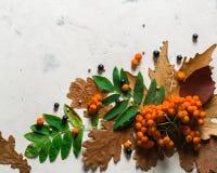 En grupp av den mogna orange bergaskaen med gröna sidor torra leaves för höst Svarta bär Vit sten eller murbruk Arkivfoton