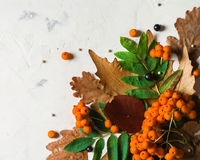En grupp av den mogna orange bergaskaen med gröna sidor torra leaves för höst Svarta bär Vit sten eller murbruk Royaltyfri Bild