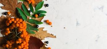 En grupp av den mogna orange bergaskaen med gröna sidor torra leaves för höst Svarta bär Vit sten eller murbruk royaltyfri fotografi