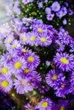 En grupp av den purpurfärgade ultravioletta aster blommar under en Bokeh av solljus Arkivbild