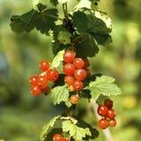 En grupp av den röda vinbäret Arkivbild