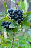 En grupp av den svarta chokeberryen (aronia). Royaltyfri Fotografi
