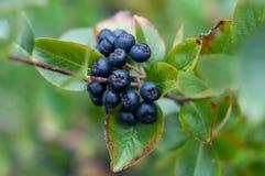 En grupp av den svarta chokeberryen (aronia). Fotografering för Bildbyråer
