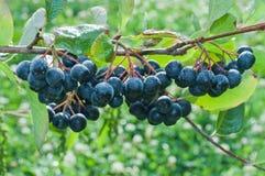 En grupp av den svarta chokeberryen (aronia). Arkivbilder