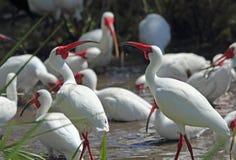 En grupp av den vita ibits i en Florida våtmarker Arkivbilder