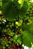 En grupp av druvor Arkivfoton