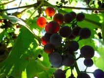 En grupp av druvor på en sommarmorgon arkivfoton