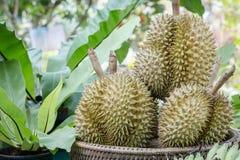 En grupp av durians som förläggas på korgen Royaltyfri Bild