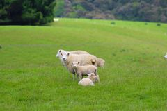 En grupp av får, Catlinsen, södra ö, Nya Zeeland arkivbild