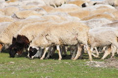 En grupp av får på grässlätten Fotografering för Bildbyråer