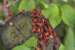 En grupp av firebugs Royaltyfri Fotografi