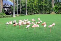 En grupp av flamingo på gräsmattan royaltyfri foto