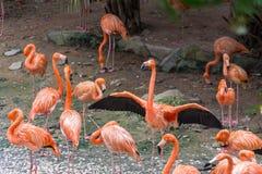 En grupp av flamingofåglar Royaltyfri Foto