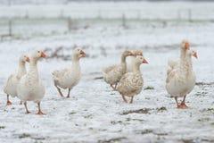 En grupp av gäss i det vita insnöat säsongvintern arkivfoto