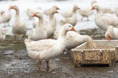 En grupp av gäss i det vita insnöat vintersäsongdricksvattnet royaltyfri fotografi