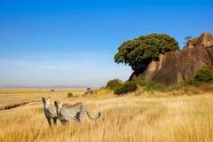 En grupp av geparder i savannet i nationalparken av Afrika Royaltyfri Foto