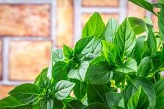 En grupp av grön citronbasilika på en brun konkret tabell mot en vägg för röd tegelsten Royaltyfri Foto